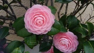 花,ピンク,赤,バラ,花びら,草木,ガーデン,椿、ピンク、重なり