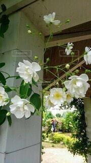 花,屋内,バラ,薔薇,草木,白い薔薇