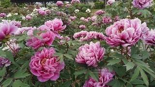 花,屋外,ピンク,紫,草木,ガーデン