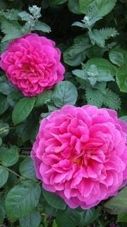 花,屋外,バラ,花びら,薔薇,草木,ハイブリッドティーローズ