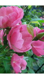 花,ピンク,赤,バラ,花びら,薔薇,草木,ガーデン,ハイブリッドティーローズ
