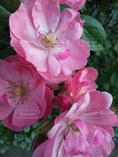 花,ピンク,花びら,草木,ブルーム,ブロッサム,フローラ