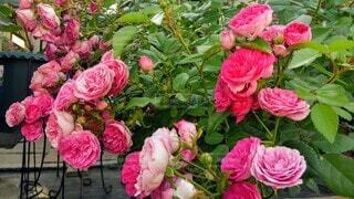 花,ピンク,赤,バラ,花びら,薔薇,草木,ガーデン,フロリバンダ