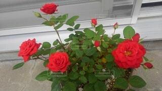 花,屋内,赤,花束,バラ,花びら,薔薇,草木,フロリバンダ,ハイブリッドティーローズ