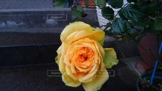 花,バラ,薔薇,イエロー