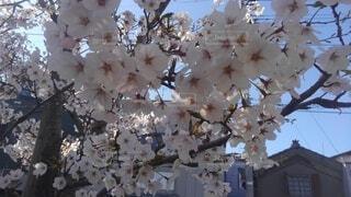 花,春,草木,桜の花,さくら
