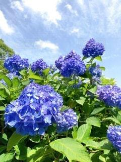 夏空の下に咲き誇る紫陽花の写真・画像素材[4869159]