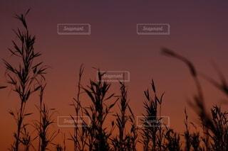 秋の夕暮れにそびえる草木の写真・画像素材[4869233]
