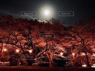 夜桜と月の写真・画像素材[4869649]