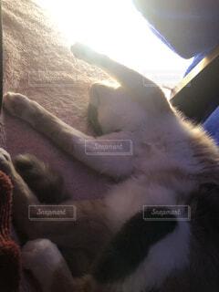 お腹を見せる猫の写真・画像素材[4870201]