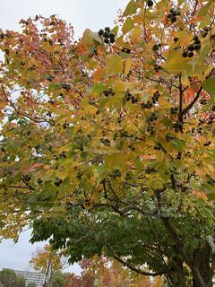 木の実の写真・画像素材[4871403]