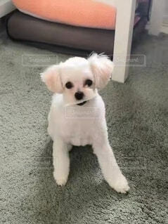 犬,動物,屋内,白,床,子犬