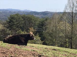 牛の写真・画像素材[4903533]