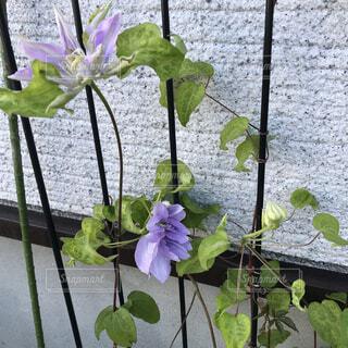 庭に咲いたクレマチスの写真・画像素材[4919781]