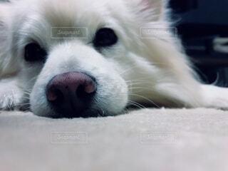 遊びすぎて疲れてしまった愛犬のポメラニアンの写真・画像素材[4876825]