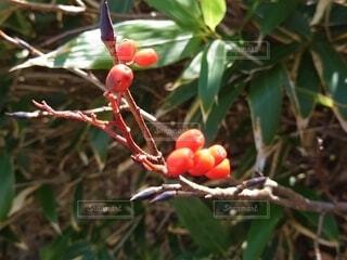 枝からぶら下がっているリンゴの写真・画像素材[4899074]