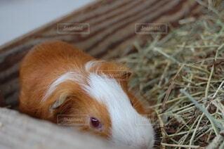 動物,かわいい,牧場,モルモット