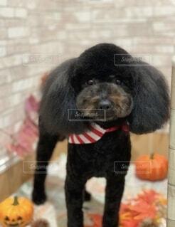 犬 黒 プードル ハローウィン