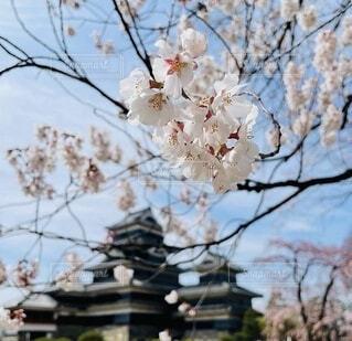 空,花,春,桜,屋外,城,樹木,草木,さくら,ブロッサム