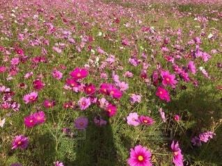 花,屋外,ピンク,紫,景色,草,草木,一年草,フローラ