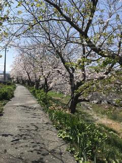 空,花,春,屋外,樹木,地面,パス