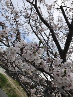 花,屋外,樹木,草木,桜の花,さくら,ブルーム,ブロッサム