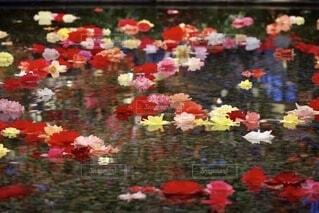 花,植物,水面,池,鮮やか,カラー,ガーデン,ベゴニア