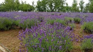 自然,空,花,屋外,紫,ラベンダー,草,樹木,ライラック,草木,フレンチラベンダー,バイオレット