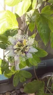 花,草木,時計草,パッションフルーツの花,フローラ,種から育てる,紫トケイソウ,時計草みたい