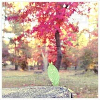 秋,紅葉,夕暮れ,葉,草,背景,樹木,カエデ