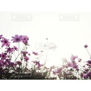 花,秋,ピンク,コスモス,夕暮れ,背景,草木