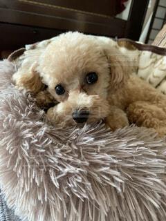 犬,かわいい,癒し,トイプードル