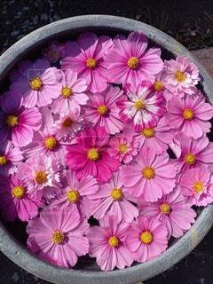 ピンクのコスモスの写真・画像素材[4878684]