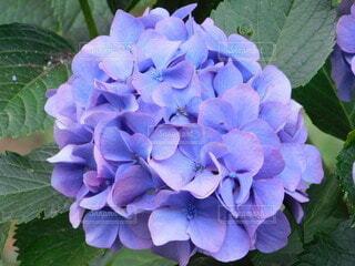 紫陽花の写真・画像素材[4920562]