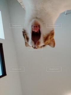 猫,動物,にゃんこ,屋内,あくび
