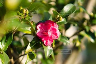 公園,花,秋,屋外,緑,バラ,草木,サザンカ,今年初めて,フローラ