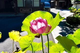 花,ピンク,神社,綺麗,水,池,光,ガーデニング,蓮,睡蓮,ハス