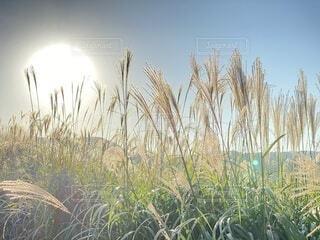 自然,空,秋,屋外,太陽,景色,草,大地,高原,草木,日中,すすき,バック グラウンド