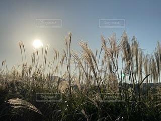 自然,空,秋,屋外,太陽,草,樹木,立つ,草木,日中,すすき,バック グラウンド