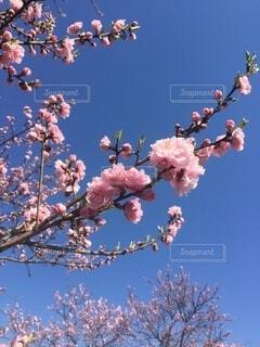 空,花,桜,木,青,日本,桜色,和,野外
