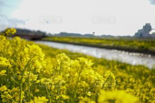 自然,風景,空,花,屋外,草木,菜種,マスタード,キャノーラ,マスタード工場