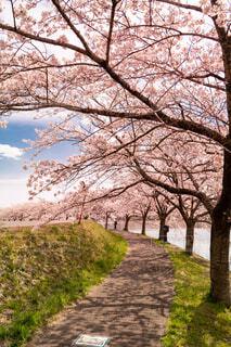 空,公園,花,春,桜,屋外,草,樹木,ブロッサム,パス