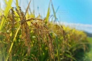 自然,空,秋,植物,景色,田んぼ,田園,田,稲,米,小麦,作物,草木,穀物,ヨシ,ライ麦,オオムギ,ライ小麦,イネ目,デュラム