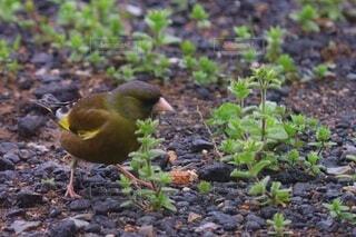 動物,鳥,屋外,草,地面,小鳥,ウグイス,鴬
