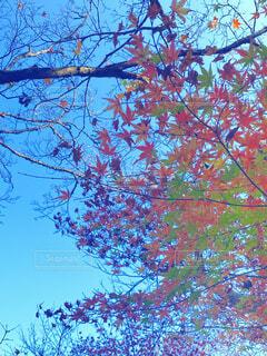 空,秋,紅葉,緑,赤,青,葉,もみじ,樹木,草木,カエデ,モミジ