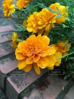 花,オレンジ,レンガ,道端,雨上がり,雫,マリーゴールド,フローラ