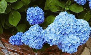 花,紫陽花,草木,フローラ