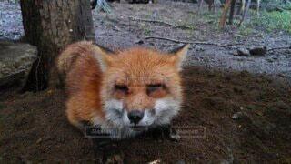 動物,屋外,狐,ほほえみ,フォックス