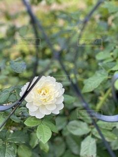 花,屋外,バラ,草木,フローラ