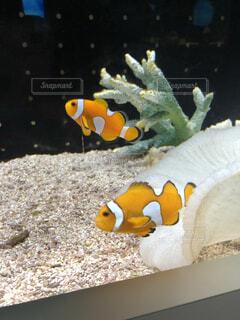 動物,魚,屋内,水族館,葉,水中,カクレクマノミ,金魚,珊瑚礁,クマノミ,コーラル,海洋無脊椎動物,海洋生物学,サンゴ礁の魚,生命体